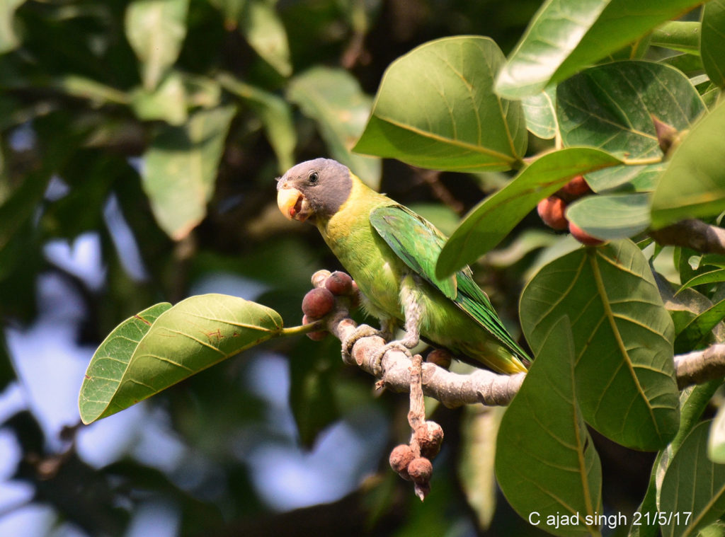 Plum-Headed Parakeet (Female), टोइंया सुग्गा (मादा), चित्र सर्वाधिकार: आजाद सिंह, © Ajad Singh, सरयू नदी के पास गुप्तार घाट, फैज़ाबाद, उत्तर प्रदेश, May 21, 2017