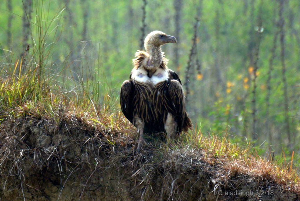 Himalayan Griffon Vulture हिमालयी पहाड़ी गिद्ध, चित्र सर्वाधिकार: आजाद सिंह, © Ajad Singh, सुहेलवा, पूर्वी बालापुर गाँव, नेपाल सीमा के निकट, जिला श्रावस्ती उत्तर प्रदेश, February 3, 2018