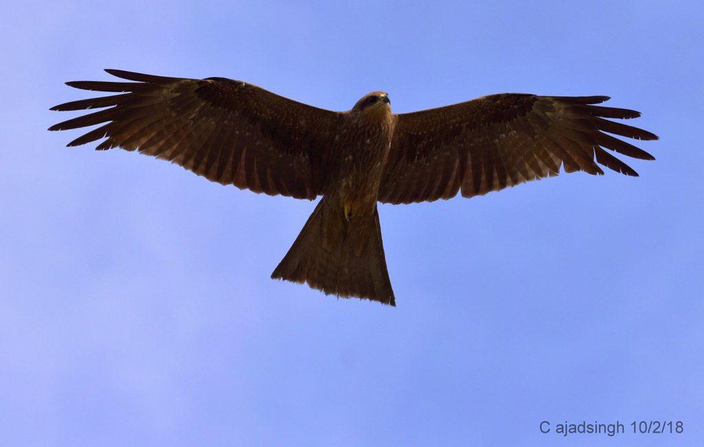 Black Kite / Common Pariah Kite, चील। चित्र सर्वाधिकार: आजाद सिंह, © Ajad Singh, सरयू नदी का कछार, माझा, अयोध्या, फैजाबाद उत्तर प्रदेश, February 10, 2018