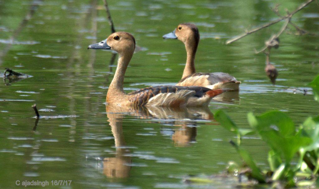 Indian Whistling Duck, छोटी सील्ही। चित्र सर्वाधिकार: आजाद सिंह, © Ajad Singh, सरयू नदी का कछार, माझा, अयोध्या, फैजाबाद उत्तर प्रदेश, July 16, 2017