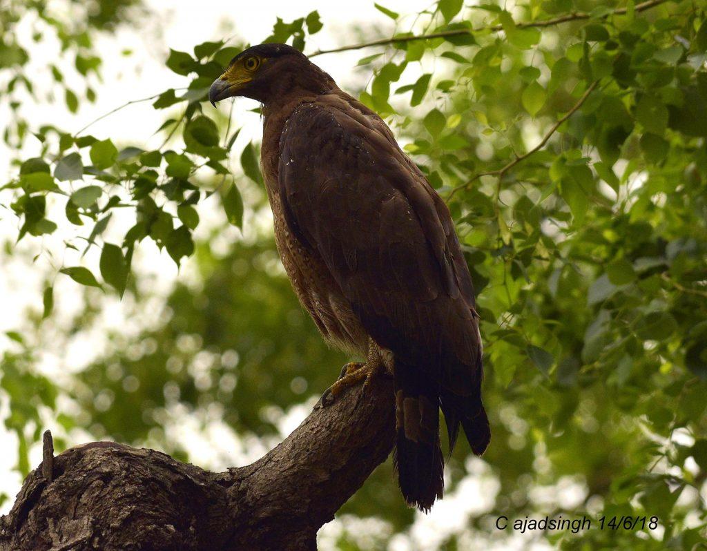 Crested Serpent Eagle, कलगीदार सर्प चील, डोगरा चील। चित्र सर्वाधिकार: आजाद सिंह, © Ajad Singh, कतर्नियाघाट वन्यजीव अभयारण्य, बहराइच, उत्तर प्रदेश, June 14, 2018