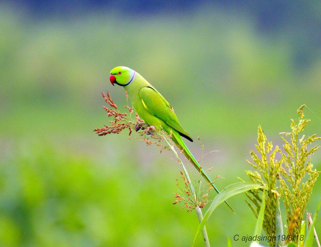 Rose-ringed Parakeet, Ring-necked Parakeet, तोता, राज शुक। चित्र सर्वाधिकार: आजाद सिंह, © Ajad Singh, सरयू आर्द्र भूमि, माझा, अयोध्या फैजाबाद, उत्तर प्रदेश, September 19, 2018