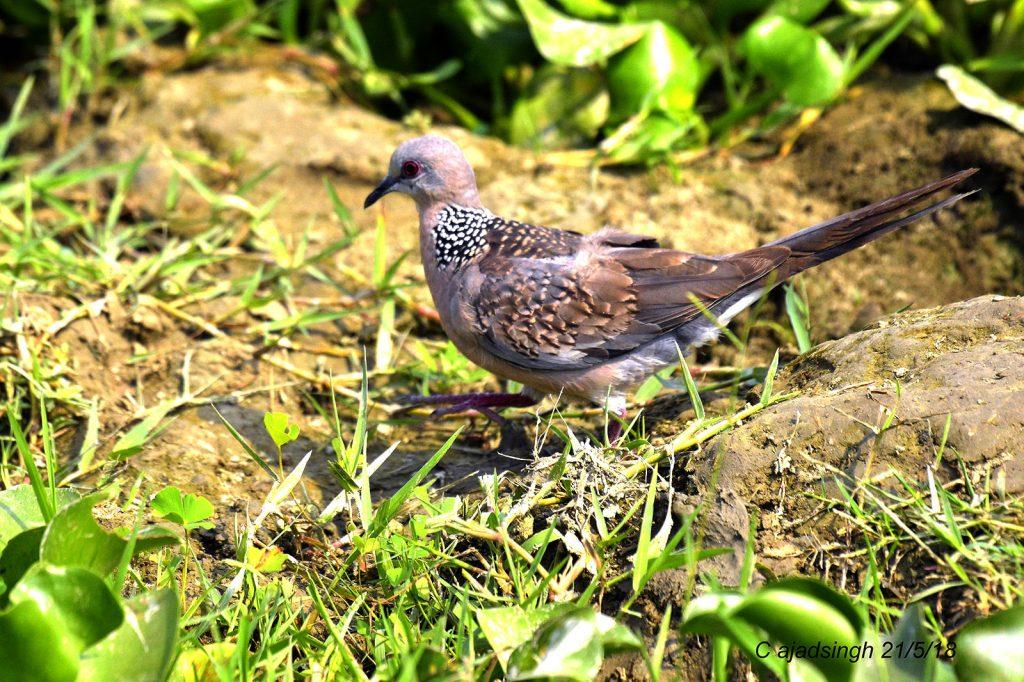 Spotted Dove फाक्ता। चित्र सर्वाधिकार: आजाद सिंह, © Ajad Singh, सरयू आर्द्र भूमि, माझा, अयोध्या, फैजाबाद, उत्तर प्रदेश, May 05, 2018