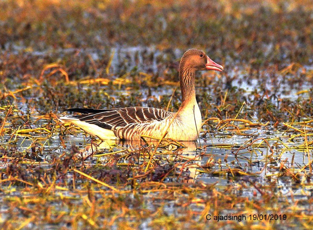 Greylag Goose कलहंस, चित्र सर्वाधिकार: आजाद सिंह, © Ajad Singh, समदा झील, सोहावल, अयोध्या, फैजाबाद, उत्तर प्रदेश, January 19, 2019