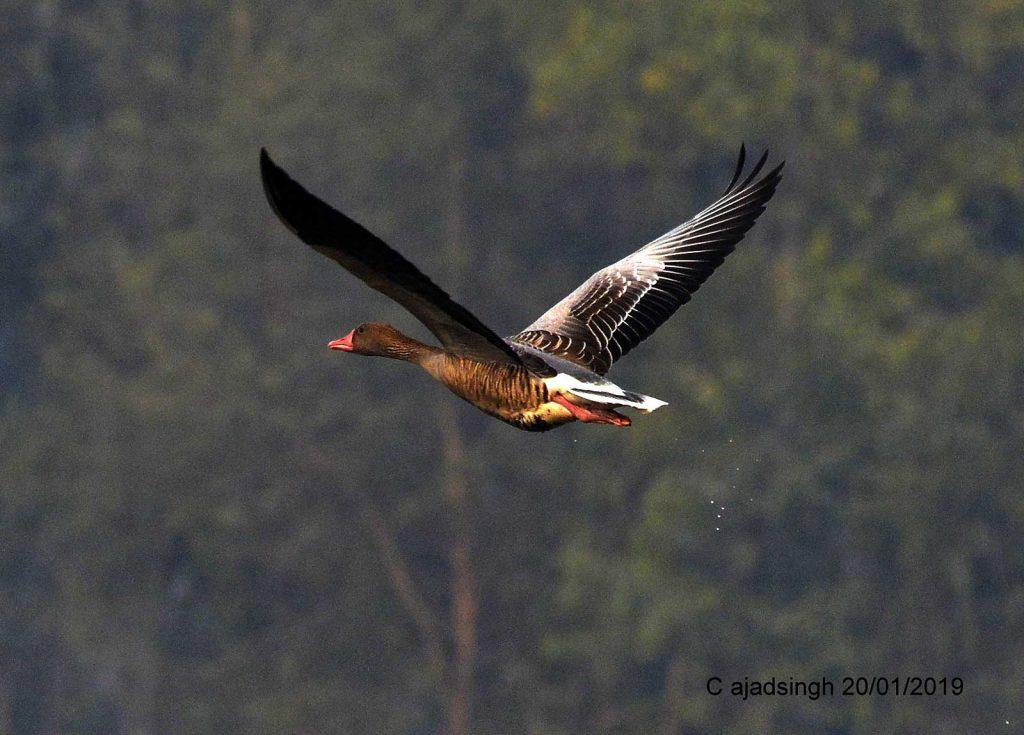 Greylag Goose कलहंस, चित्र सर्वाधिकार: आजाद सिंह, © Ajad Singh, समदा झील, सोहावल, अयोध्या, फैजाबाद, उत्तर प्रदेश, January 20, 2019