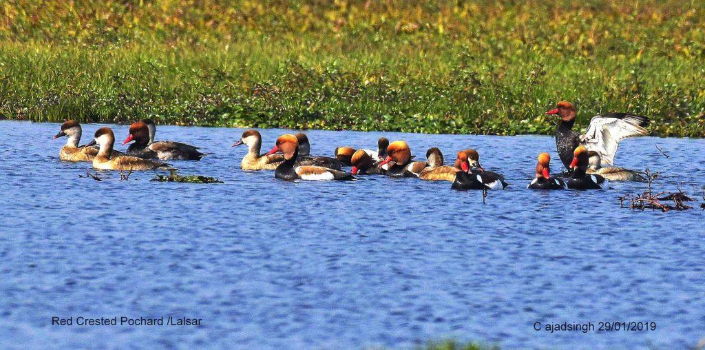 Red-crested Pochard (Flock) लालसर (झुण्ड), चित्र सर्वाधिकार: आजाद सिंह, © Ajad Singh, समदा झील, सोहावल, अयोध्या, फैजाबाद, उत्तर प्रदेश, January 29, 2019