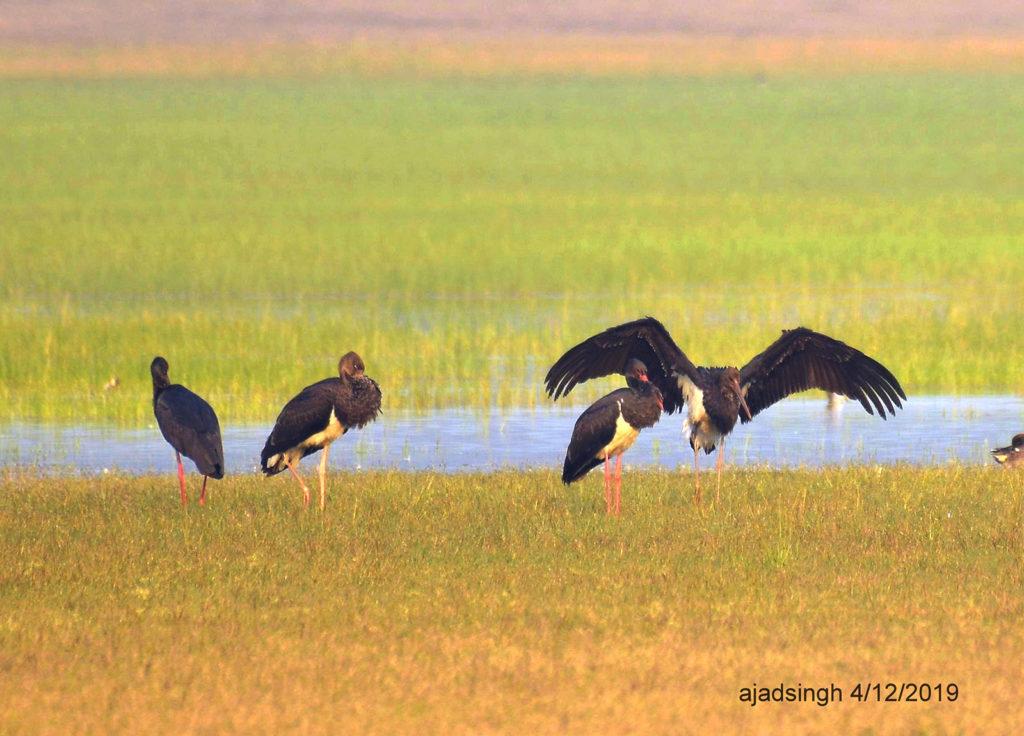 Black Stork कृष्ण महाबक। चित्र सर्वाधिकार: आजाद सिंह, © Ajad Singh, चित्र स्थान व दिनांक: खैरमान बंधा, पूर्वी सुहेलवा वन्य जीव अभ्यारण्य, बलरामपुर, उत्तर प्रदेश। December 04, 2019