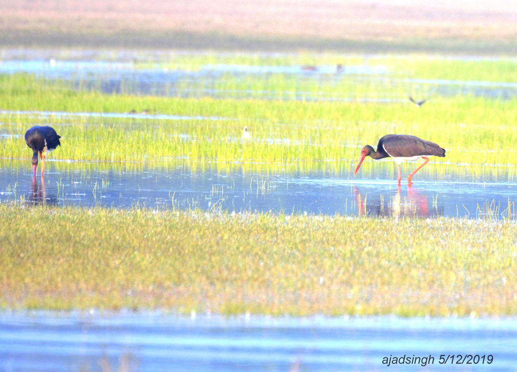Black Stork कृष्ण महाबक। चित्र सर्वाधिकार: आजाद सिंह, © Ajad Singh, चित्र स्थान व दिनांक: खैरमान बंधा, पूर्वी सुहेलवा वन्य जीव अभ्यारण्य, बलरामपुर, उत्तर प्रदेश। December 05, 2019