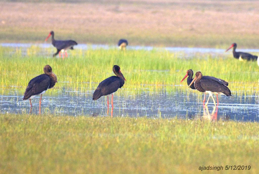 Black Strok कृष्ण महाबक। चित्र सर्वाधिकार: आजाद सिंह, © Ajad Singh, चित्र स्थान व दिनांक: खैरमान बंधा, पूर्वी सुहेलवा वन्य जीव अभ्यारण्य, बलरामपुर, उत्तर प्रदेश। December 05, 2019