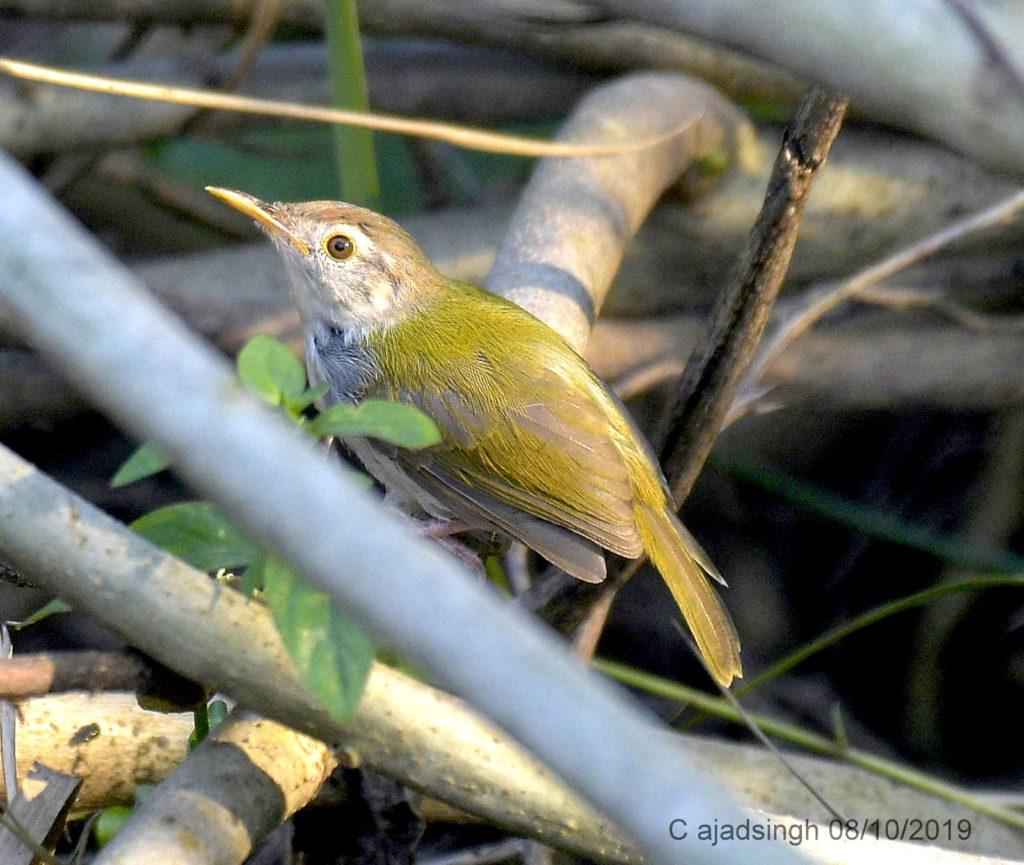 Common Tailorbird दर्जी। चित्र सर्वाधिकार: आजाद सिंह, © Ajad Singh, सरयू आर्द्र भूमि, माझा, अयोध्या, उत्तर प्रदेश, January 10, 2019
