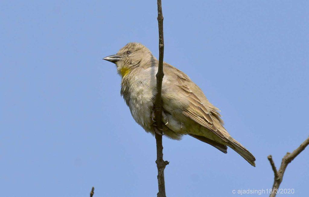Yellow Throated Sparrow (Female) जङ्गली गौरइया (मादा)। चित्र सर्वाधिकार: आजाद सिंह, © Ajad Singh, सरयू आर्द्र भूमि, माझा, अयोध्या, उत्तर प्रदेश, March 18, 2020