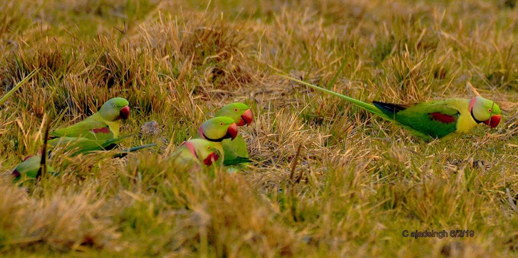 Alexandrine Parakeet पहाड़ी तोता। चित्र सर्वाधिकार: आजाद सिंह, © Ajad Singh,कतर्निया घाट वन्य जीव अभ्यारण्य, बहराइच, उत्तर प्रदेश, February 02, 2020