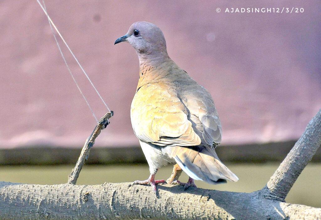 पंडुक पण्डुक पँड़ुकी Laughing Dove । चित्र सर्वाधिकार: आजाद सिंह, © Ajad Singh, बर्रा, कानपुर, उत्तर प्रदेश, March 03, 2020