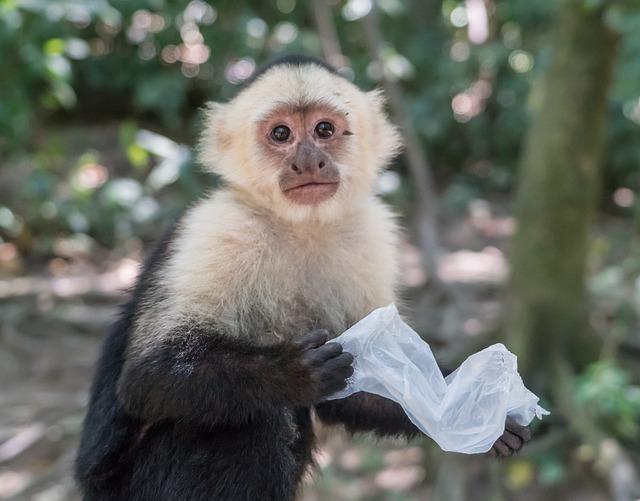 White headed capuchin