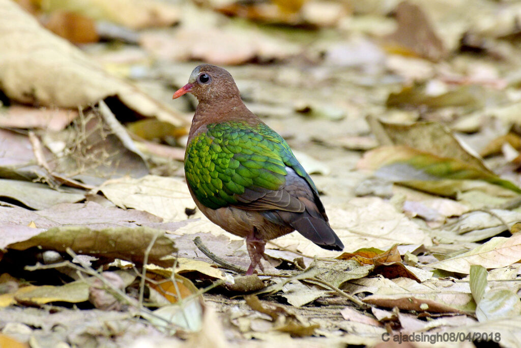 Emerald Dove (Female) पन्ना कबूतर हरित कपोत (मादा)। चित्र सर्वाधिकार: आजाद सिंह, © Ajad Singh, कतर्निया वन्यजीव अभयारण्य उत्तर प्रदेश, निशंगाराह मार्ग, बहराइच - 271855, उत्तर प्रदेश, April 08, 2018