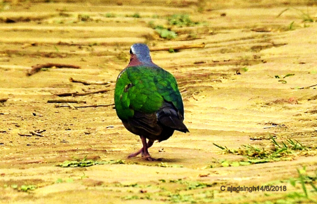 Emerald Dove (Male) पन्ना कबूतर हरित कपोत (नर)। चित्र सर्वाधिकार: आजाद सिंह, © Ajad Singh, कतर्निया वन्यजीव अभयारण्य उत्तर प्रदेश, निशंगाराह मार्ग, बहराइच - 271855, उत्तर प्रदेश, June 06, 2018