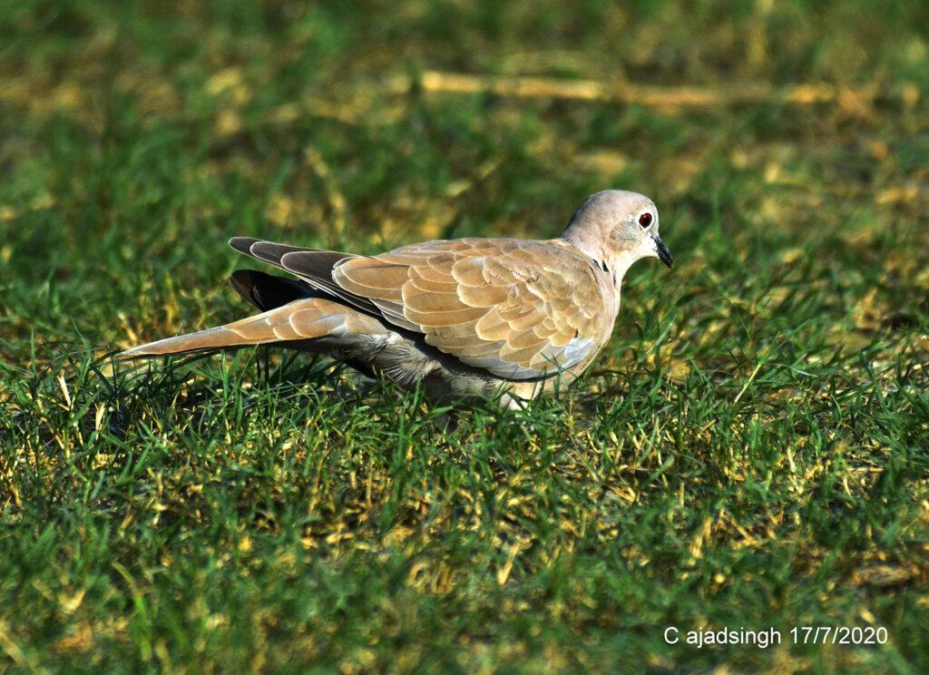 Eurasian Collared-dove धवल कपोतक। चित्र सर्वाधिकार: आजाद सिंह, © Ajad Singh, सरयू आर्द्र भूमि, माझा, अयोध्या-224001, उत्तर प्रदेश, June 17, 2020