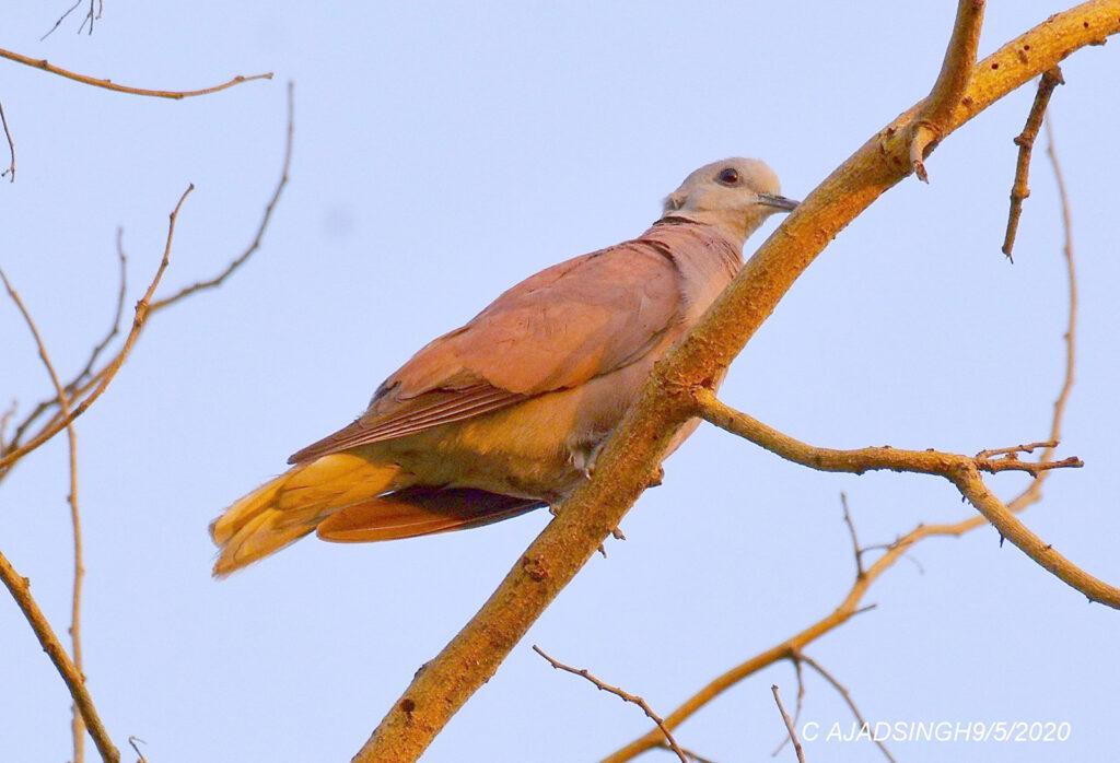Red Collared-dove अरुण कपोतक। चित्र सर्वाधिकार: आजाद सिंह, © Ajad Singh, सरयू आर्द्र भूमि, माझा, अयोध्या-224001, उत्तर प्रदेश, May 09, 2020
