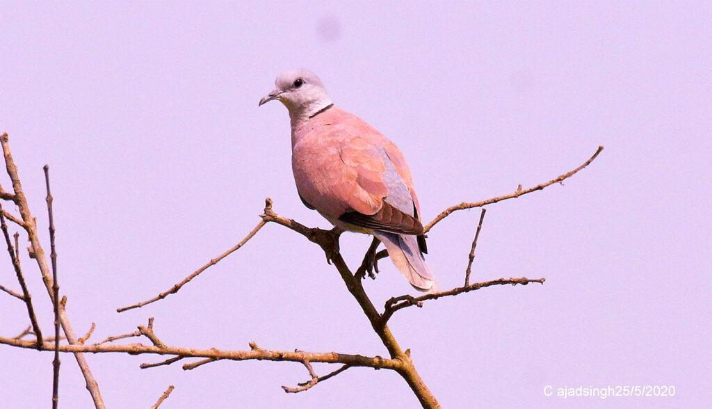 Red Collared-dove अरुण कपोतक। चित्र सर्वाधिकार: आजाद सिंह, © Ajad Singh, सरयू आर्द्र भूमि, माझा, अयोध्या-224001, उत्तर प्रदेश, May 25, 2020