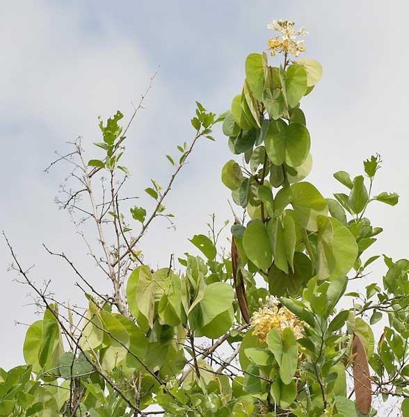 Bauhinia vahlii Maluva चाम्बुली