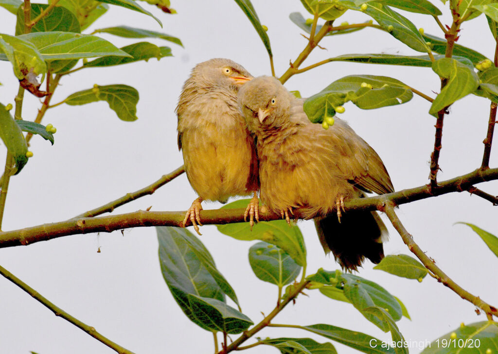 Jungle Babbler/Seven Sisters सतबहिनी चरखी। चित्र सर्वाधिकार: आजाद सिंह, © Ajad Singh, सरयू नदी तट, माझा, अयोध्या-224001, उत्तर प्रदेश, October 19, 2020