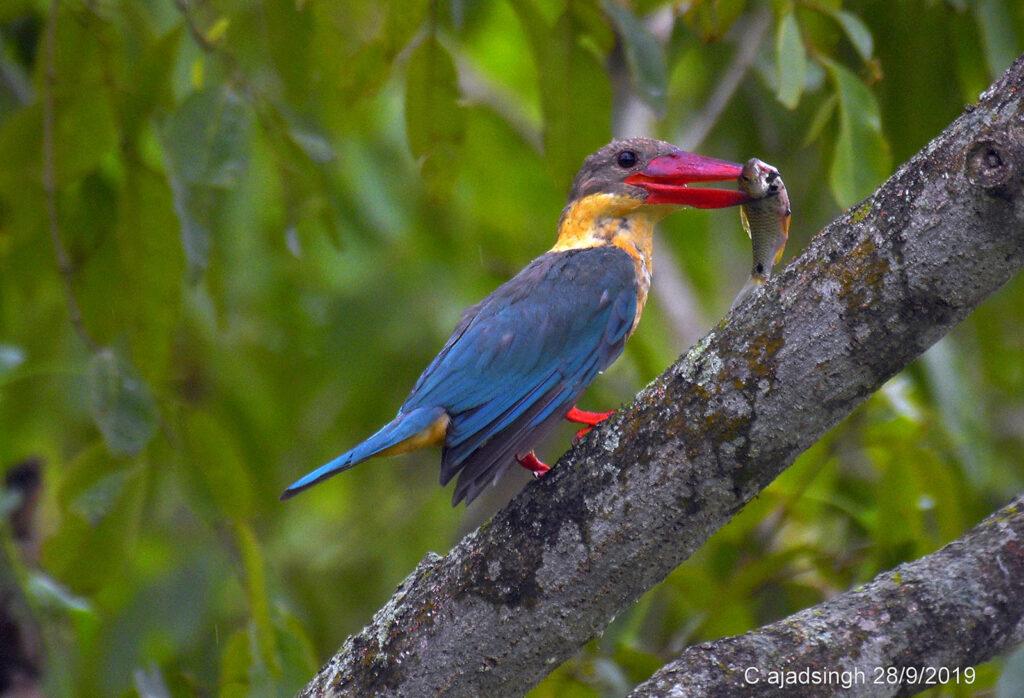 Stork-billed Kingfisher बड़ा किलकिला। चित्र सर्वाधिकार: आजाद सिंह, © Ajad Singh, कतरनियाघाट वन्य जीव अभ्यारण्य ,बहराइच-271830, उत्तर प्रदेश, September 28, 2019