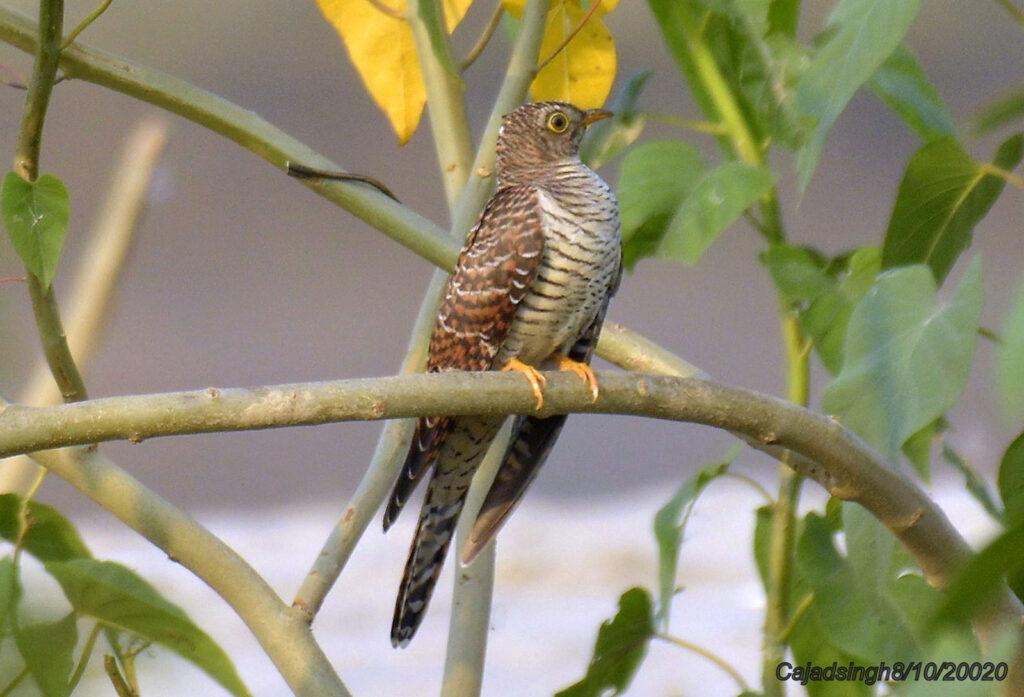Eurasian Cuckoo श्वेत कोकिल। चित्र सर्वाधिकार: आजाद सिंह, © Ajad Singh, सरयू, आर्द्र भूमि, माझा, अयोध्या-224001, उत्तर प्रदेश, October 08, 2019