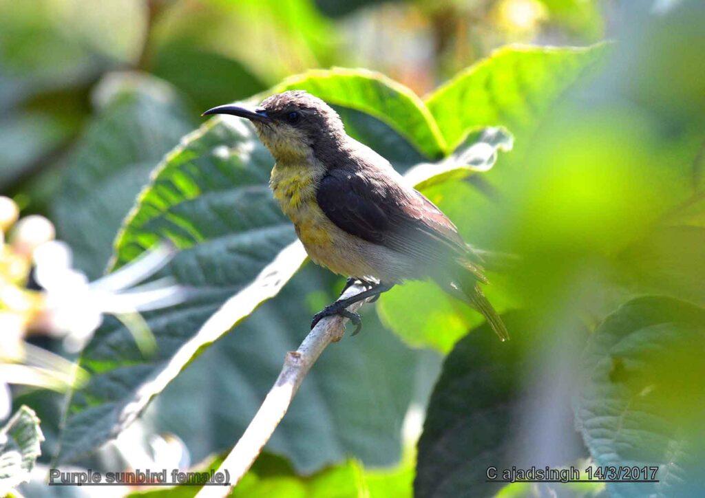 Purple sunbird शकरखोरा (Female/मादा)। चित्र सर्वाधिकार: आजाद सिंह, © Ajad Singh, सरयू, आर्द्र भूमि, माझा, अयोध्या-224001, उत्तर प्रदेश, March 14, 2017