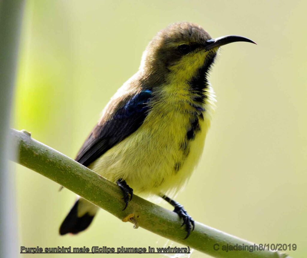 Purple sunbird शकरखोरा (Male/नर)। चित्र सर्वाधिकार: आजाद सिंह, © Ajad Singh, सरयू, आर्द्र भूमि, माझा, अयोध्या-224001, उत्तर प्रदेश, October 08, 2019