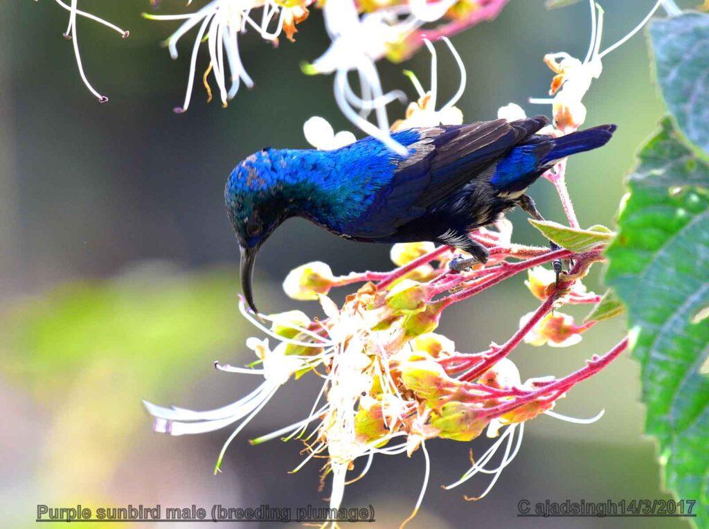 Purple sunbird शकरखोरा (Male/नर)। चित्र सर्वाधिकार: आजाद सिंह, © Ajad Singh, सरयू, आर्द्र भूमि, माझा, अयोध्या-224001, उत्तर प्रदेश, March 14, 2017
